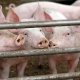 Factory Farming Pigs