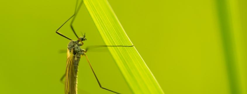Nahaufnahme einer Stechmücke auf einem grünen Blatt